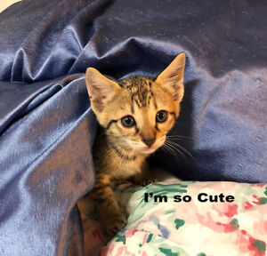 Purebred Savannah Kittens for Christmas Delivery