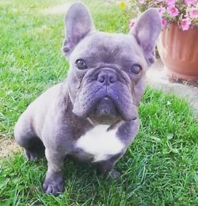 Phenomenal French Bulldog Puppies for Reservation