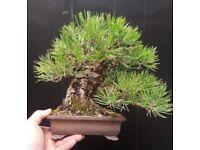 Exhibition Quality Shohin Pinus thunbergii Bonsai