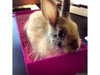 Female dwarf bunny