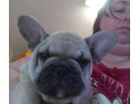 French Bulldog puppies must be seen