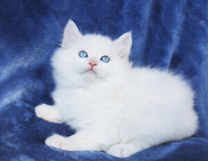 White Ragdoll Male Kittens are Ready for Rehoming