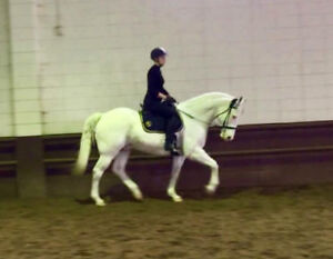 Handsome all rounder horse for lease