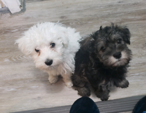 Schnoodle Puppies-1/2 Miniature Schnauzer 1/2 toy Poodle-Reduced