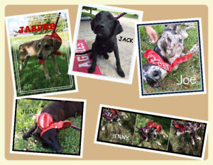 Catahoula Cattle mixes 7 mothns old rescues for adoption