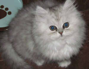 persan chaton chat pure race bb adulte 100$ ET +