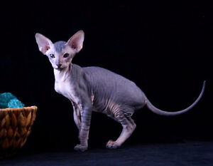 Rare hairless cat breed Peterbald (Russian sphynx)