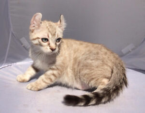 Adorable male kitten with curly ears ON SALE