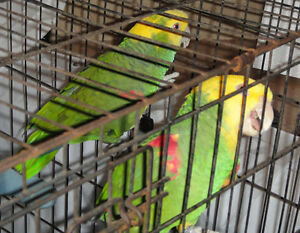 MAGNAS -- Pair Double Yellow Headed Amazons