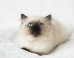 Himalayan Seal Point Male Kitten for Rehoming