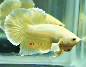 Gold Dumbo Ear Bettas