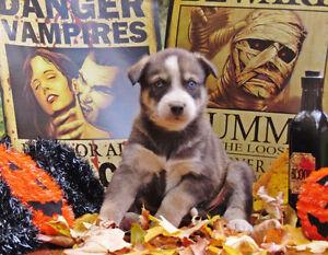 Ameri-Indian Husky pups