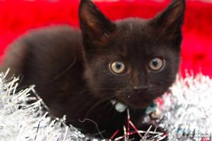 Wednesday rescue kitten NK2809 VET WORK INCLUDED