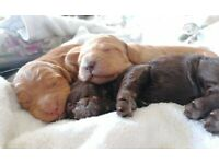 Gold, Fox Red and Chocolate Cockapoo Puppies