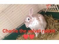 Velvet rex rabbit