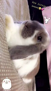 Looking to get rid of a Holland Lop Bunny.