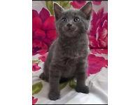Male Russian blue kitten