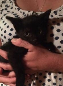 Meet Midnight~Kitten for Adoption! Kawartha Lakes Peterborough Area image 1