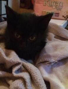 "Baby Female Cat - Domestic Short Hair-black: ""Midnight"""