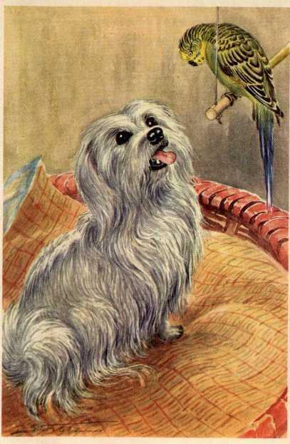 Maltese - MATTED Dog Art Print - German / NEW U