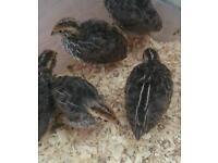 Japanese quails