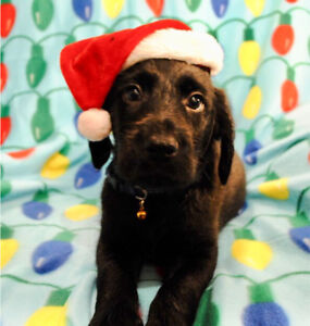 Labradoodle Puppies Ready To Go Home With You