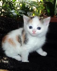 """Baby Female Cat - Calico: """"Lacey"""""""