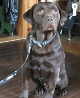 Big Chocolate Lab Male