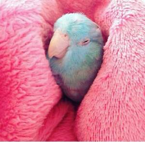 ❤♥☆♥ Parrotlet ♥ Babies with Cage and Food ♥☆♥❤