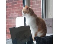 Missing ginger and white cat