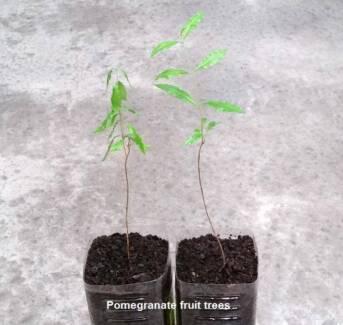 Pomegranate Fruit Trees – Big sweet fruits
