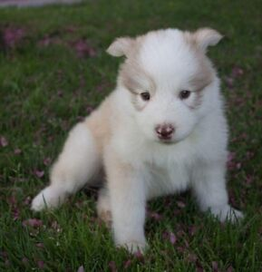 Siberian Husky x Malamute Puppies