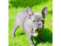 Blue french bulldog female