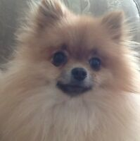 GORGEOUS TEACUP MALE POMERANIAN