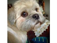 loving blond Lhasa Apso looking for a new home due to new baby