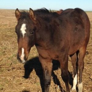 Beautiful Cutting Bred Colt - Great Grandson of High Brow Cat