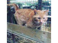 LOST MISSING Ginger Cat.