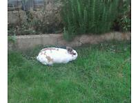 Sweet female bunny looking for new home