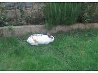 Female bunny in need of new home. Oxford