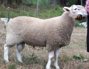 Purebred North Country Cheviot Yearling Rams