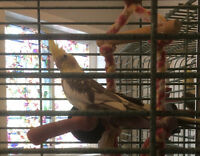 Breeding pair of cockatiels with small cage