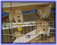 Healthy CKC registered Golden Retriever Puppies Breeder 38 years