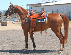 5-year-old Registered Arabian Mare - Professionally Started