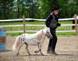 reg mini horse