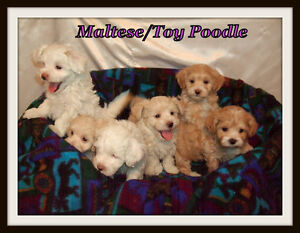 Maltese/Toy Poodle Puppies