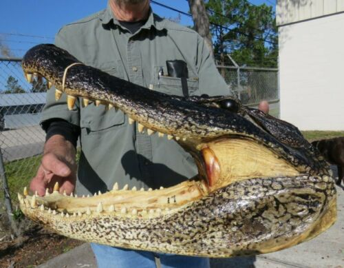 "17"" Real Alligator Head  From a 10 Foot Louisiana Gator Taxidermy Swamp Wars"