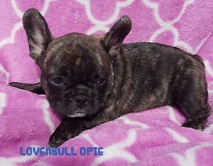 GORGEOUS QUALITY FRENCH BULLDOG PUPPIES