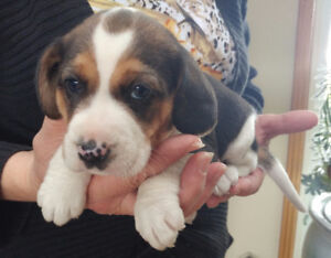 4 Chubby Wrinkled Little Beagle Puppies! Reg'd Purebred Tricolor