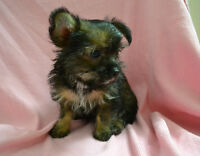 Three Melt your heart Morkie Puppies