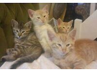 Beautiful half ORIENTAL kittens. Three Ginger males and one Tabby female